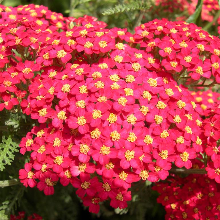 Picture of Live Yarrow (red) aka Achillea 'The Beacon' Plant Fit 1 Gallon Pot