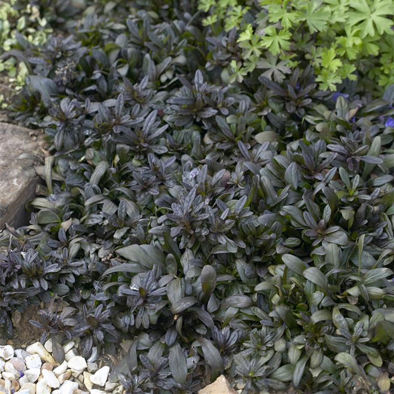 ajuga 'chocolate chip' vr/cb, Natural flower