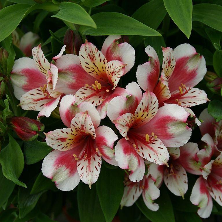 "Alstroemeria Inca/""Goal/"",1L Pot,Fully Est Sun//Shade,Flowering Size,Compact"