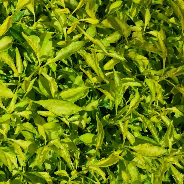 "Picture of Live Joseph's Coat aka Alternanthera ficoidea Yellow Plant Fit 4"" Pot"