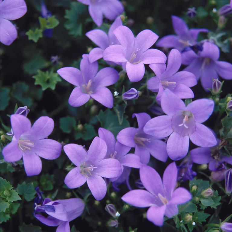 "Picture of 2 (TWO) Live Dalmatian Bellflower aka Campanula muralis Plant Fit 4"" Pot"