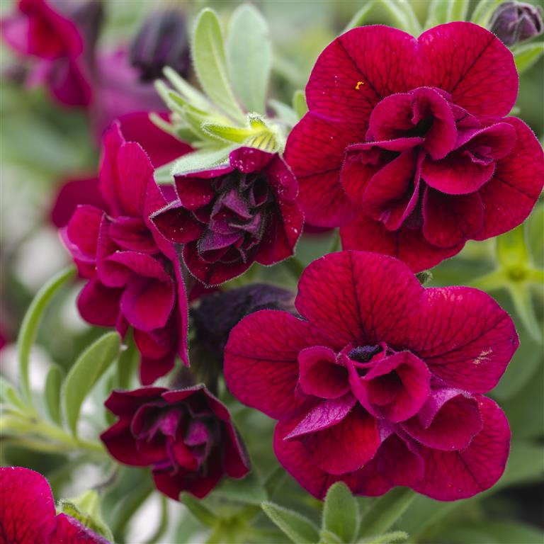 Picture of Live Superbells Double Ruby aka Calibrachoa 'Superbells Double Ruby' Plant Fit 1QRT Pot