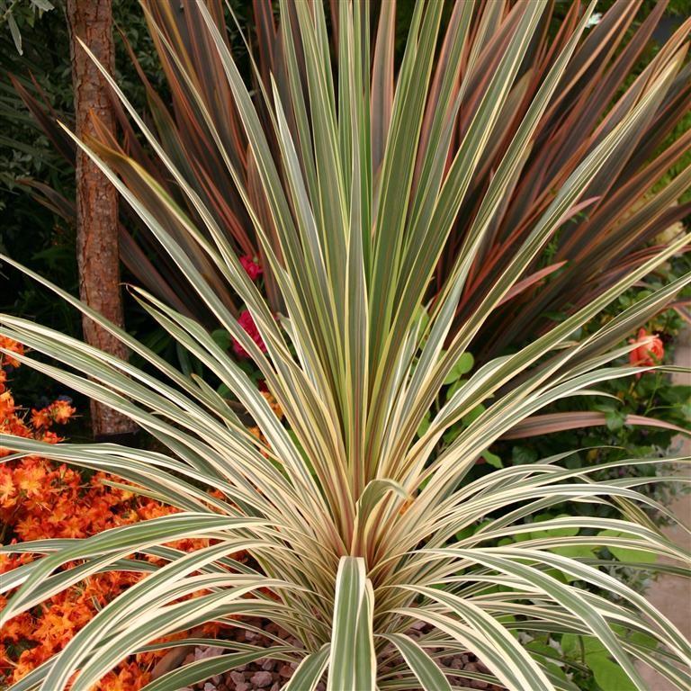 Kernock park plants ltd cordyline australis 39 torbay dazzler 39 for Plant de pot exterieur