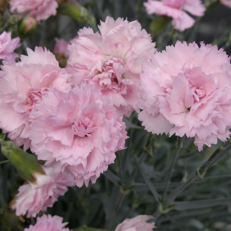 Dianthus Scent First Candy Floss P