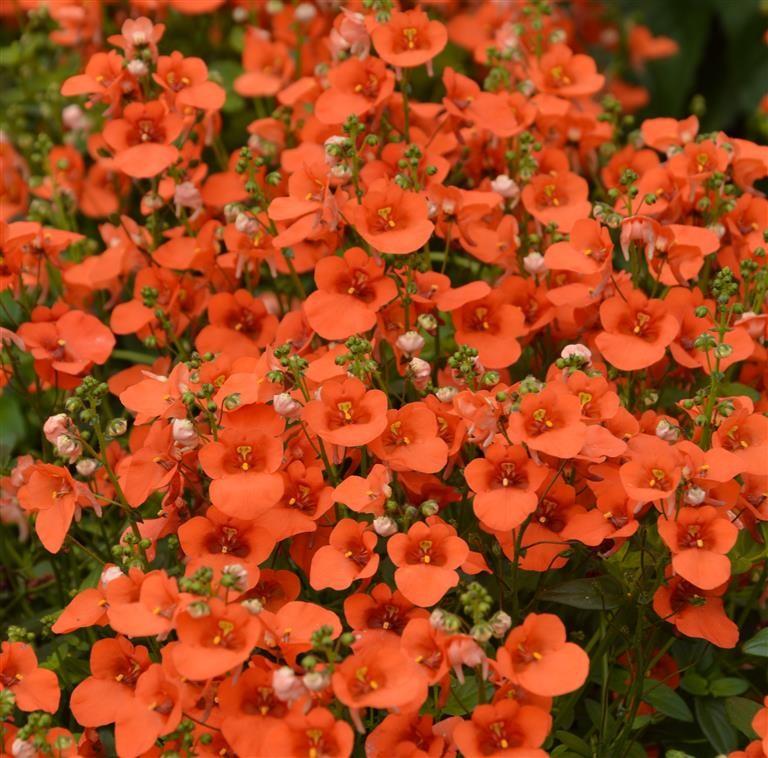 Diascia Breezee Plus Red