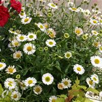 Erigeron karvinskianus 'Sea of Blossom'