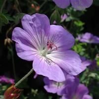 Geranium 'Rozanne' (P)