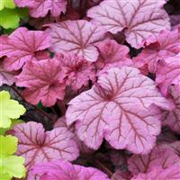 Heuchera 'Berry Smoothie' (P)