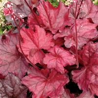 Heuchera 'Fire Chief' (P)