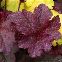 Heuchera 'Midnight Rose' (VR)