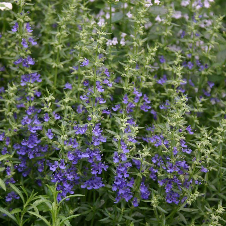 Hyssopus officinalis 'Blue'
