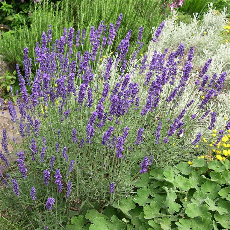 Picture of Live English Lavender aka Lavandula angust. 'Hidcote' Plant Fit 1 Gallon Pot