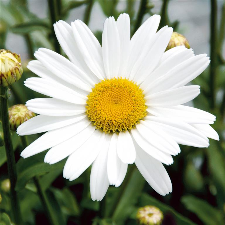 Picture of Live White Mountain Shasta Daisy aka Leucanthemum x superbum 'White Mountain' Plant Fit 1GAL Pot