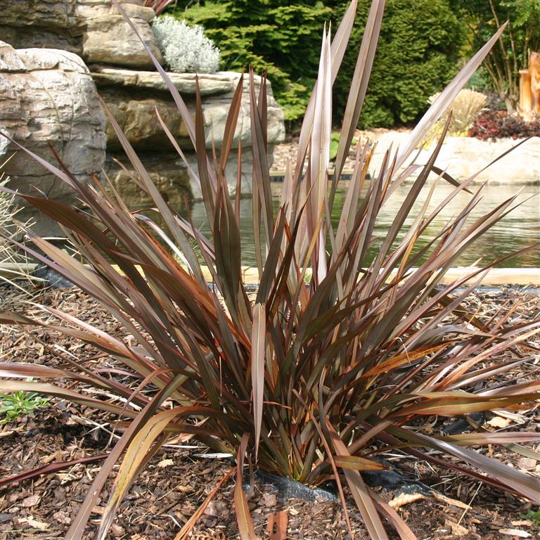 Picture of Live Bronze Baby Flax aka Phormium Baby Bronze Shrubs Plant Fit 5 Gallon Pot