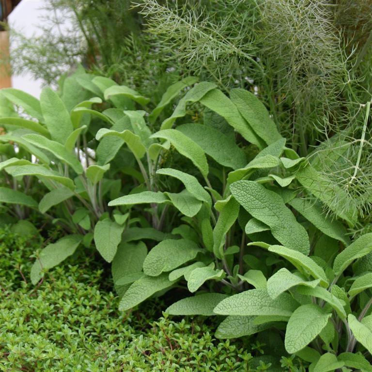 Sage officinalis 'Common Broad Leaf'