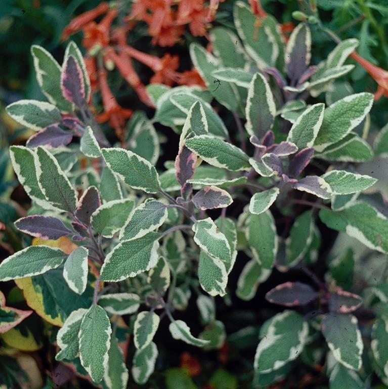 Sage officinalis 'Tricolor'
