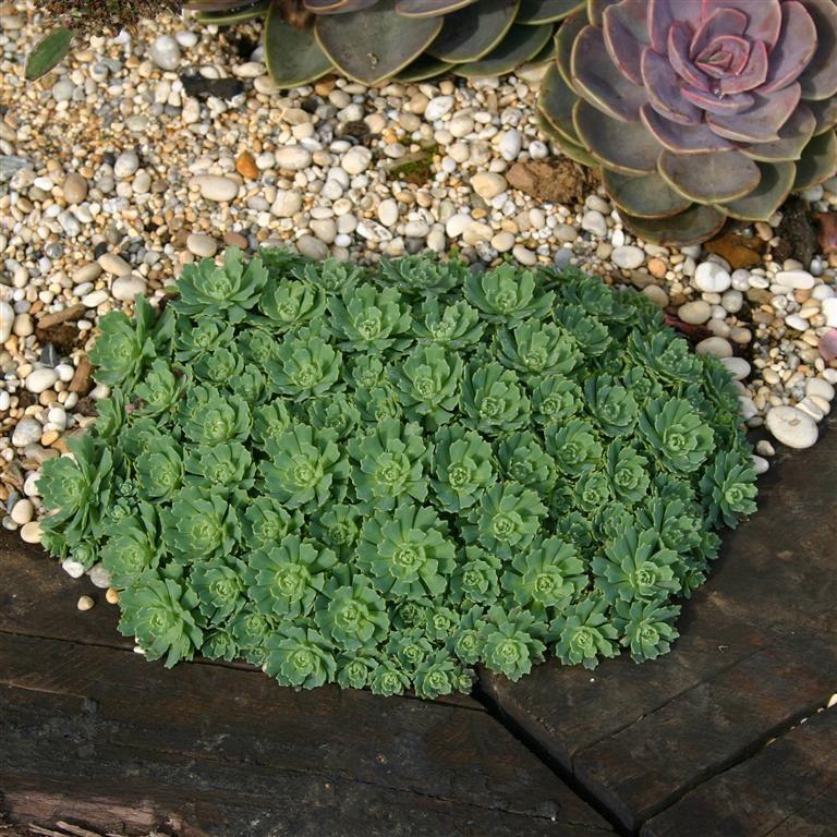 Kernock Park Plants Ltd Sedum Pachyclados