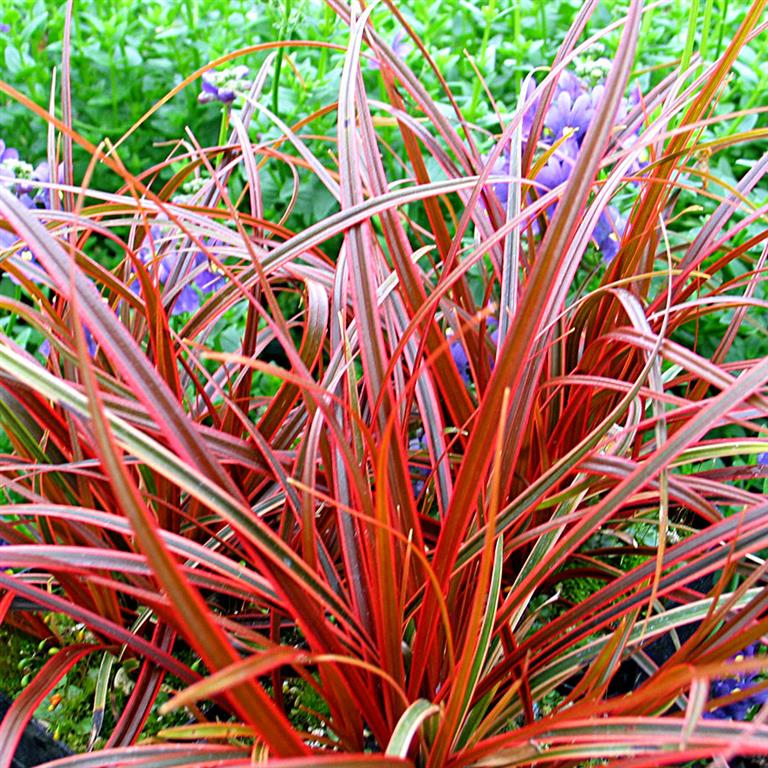 Uncinia rubra 39 everflame 39 p for Low growing perennial grasses